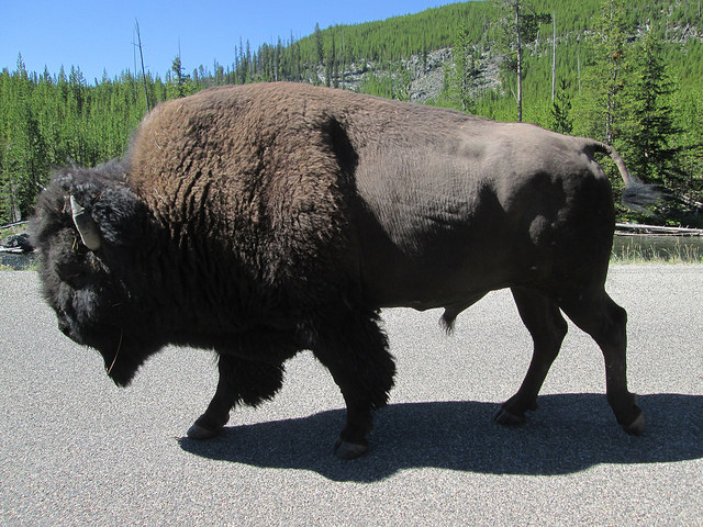 We went north to Yellowstone after the wedding and spent a week camping there. This nice gentleman blocked traffic our first day and let me take a great picture.
